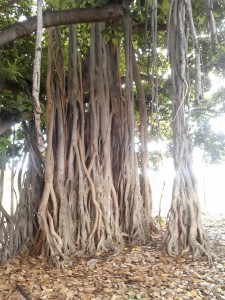 Amazing trees in Honolulu